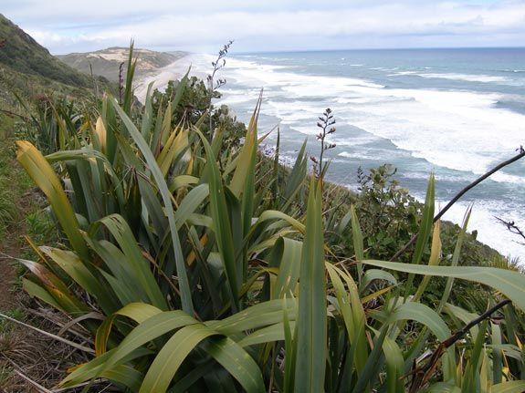 harakeke (Phormium tenax), New Zealand flax