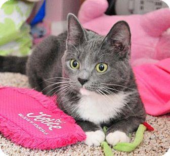 Oakland Park, FL - Russian Blue. Meet Tula, a cat for adoption. http://www.adoptapet.com/pet/17236192-oakland-park-florida-cat