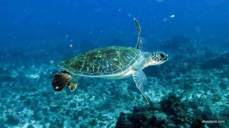 Turtle learns Freestyle? #scuba #diving #underwater #travel #diveplanit