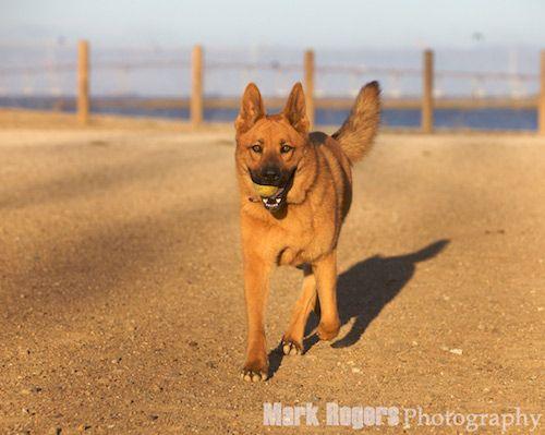 German Shepherd Chow Mix | Looks alot like my dog Harry!