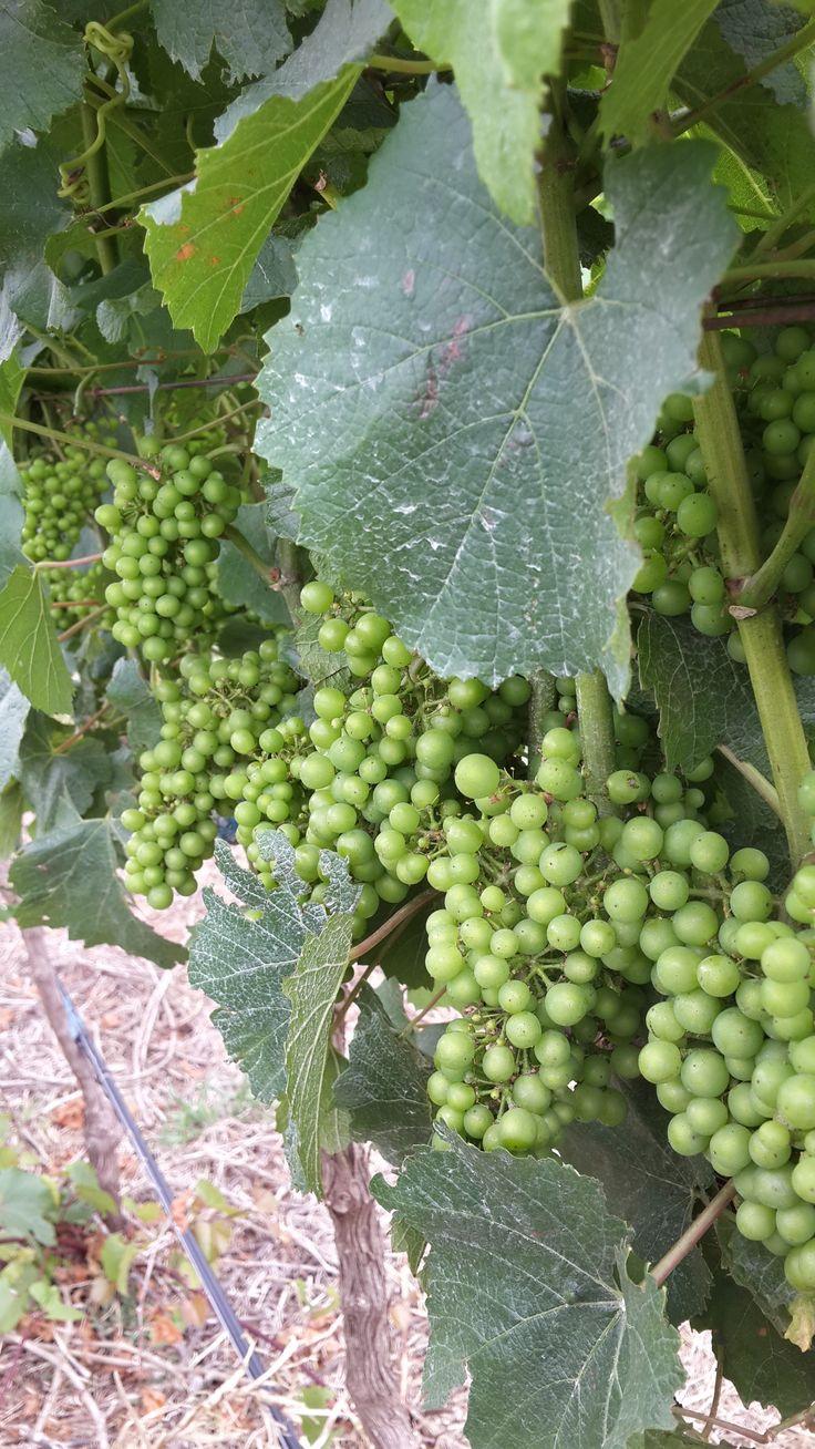 Highlands Road Wines Harvest 2015