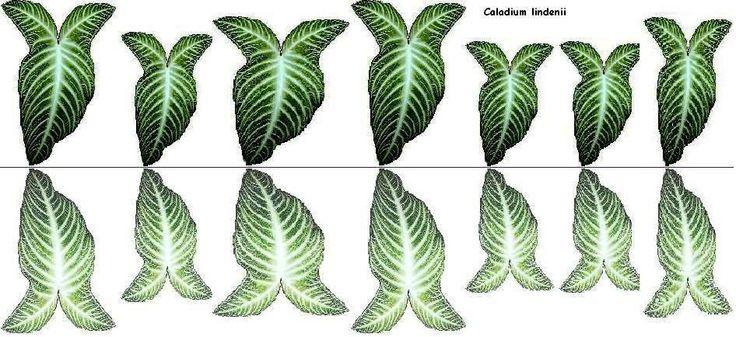 Feuilles de caladium, recto verso