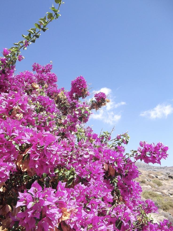 Boukamvilia Flower