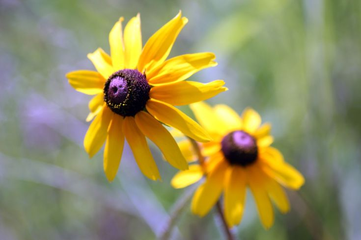 Black Eyed Susan  A day getting lost in the beauty of the prairies. - Truly You Life Coaching