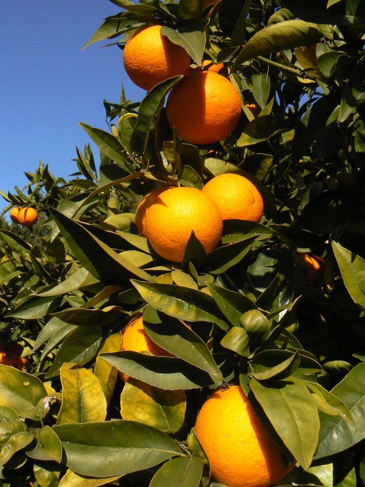 Sinaasappels uit eigen tuin hmmmm