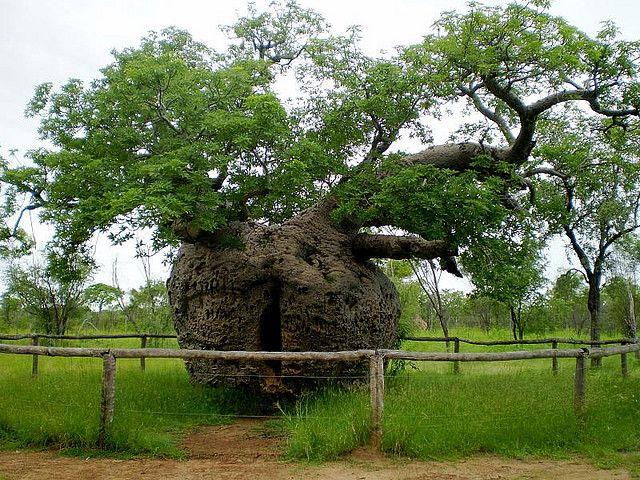 Prison Boab Tree, Western Australia