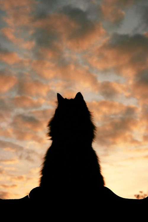 : Groenendael, Meow, Sunsets, Maine Coon, Night Sky, Shadows, Cat Silhouette, Animal, Baby Cat