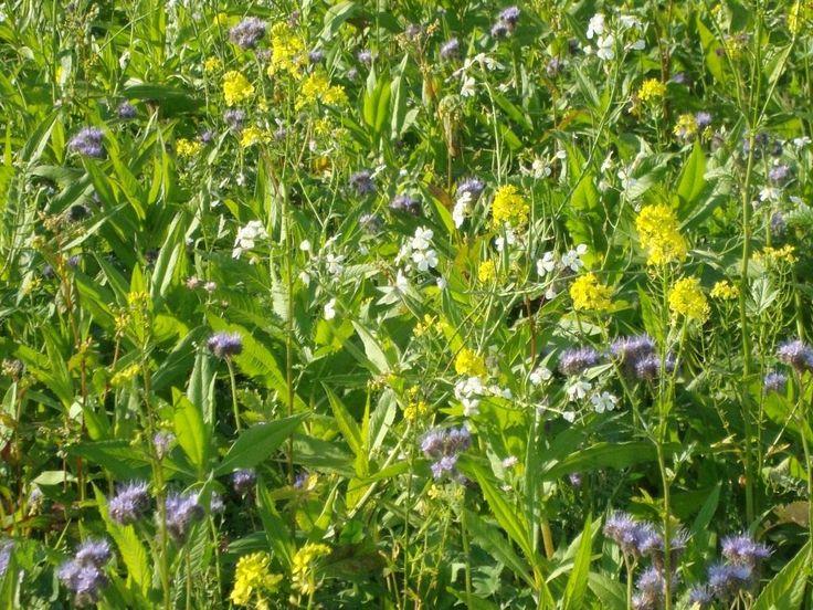 Какие сидераты сеять весной? Посадка сидератов весной. Фото - Ботаничка.ru