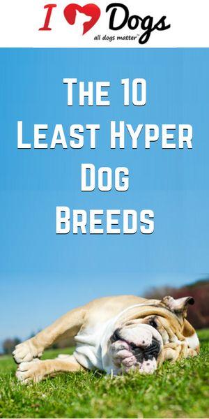 Least Hyper Dog Breeds