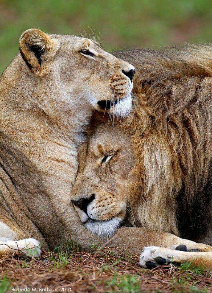 Lion Lioness Animals Wild Animals Animals Beautiful