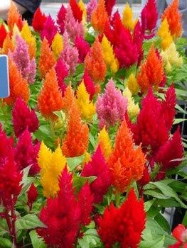 Celosia...my favorite annual for full sun colors for sewing/bedroom