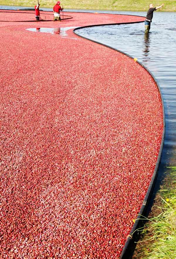Cranberry harvest in New England. (Didn't see THIS one)  We drove to New Jersey with my sister, Betty  & her husband, Fred to see the cranberry bogs. Awesome!