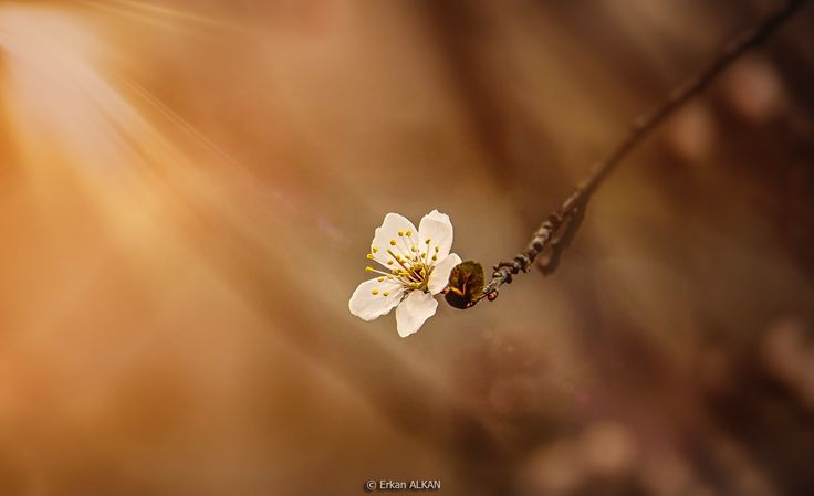 Photo cherry blossom by Erkan ALKAN on 500px