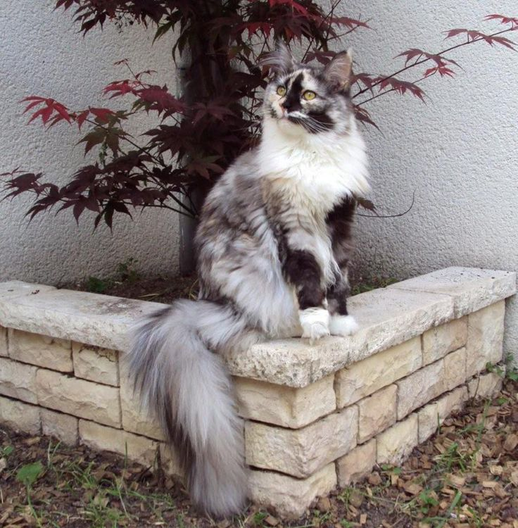 Couleurs et marquages chez le maine coon :: Lovely angel coon                                                                                                                                                      Plus http://www.mainecoonguide.com/health/