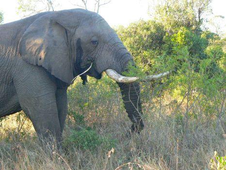 Slon africky (88 pieces)