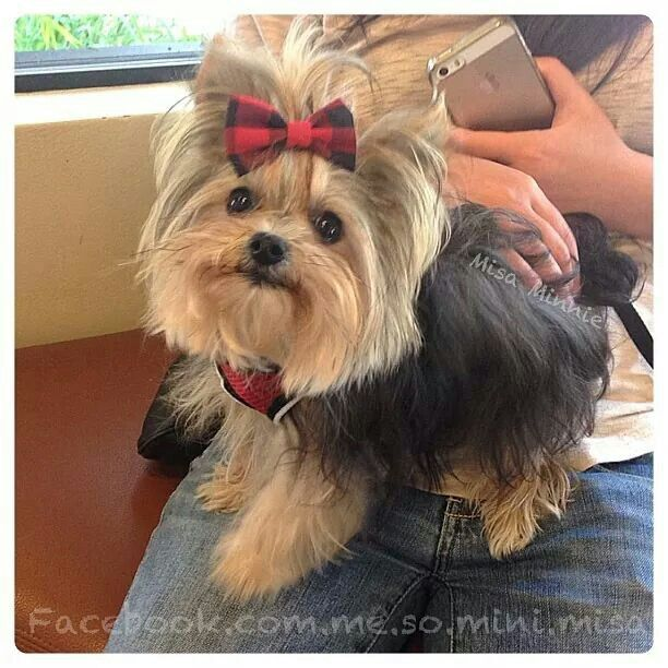 My favourite yorkie ~ Misa Minnie ♥ ~ What a sweetie!
