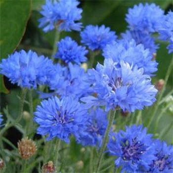 I love batchelor's buttons - they make a wonderful cut flower to provide pops of blue with roses or daisies