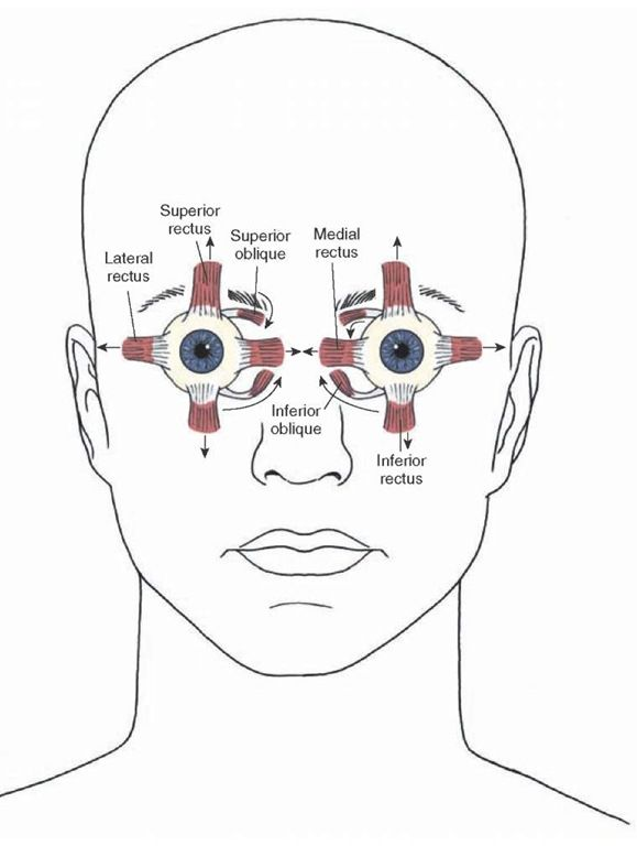 Diagram illustrating the direction of actions of the extraocular muscles of the eye (indicated by arrows). The lateral rectus muscle is inne...