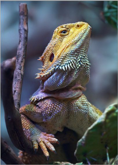 This bearded dragon is beautiful in his/her pastel colors.