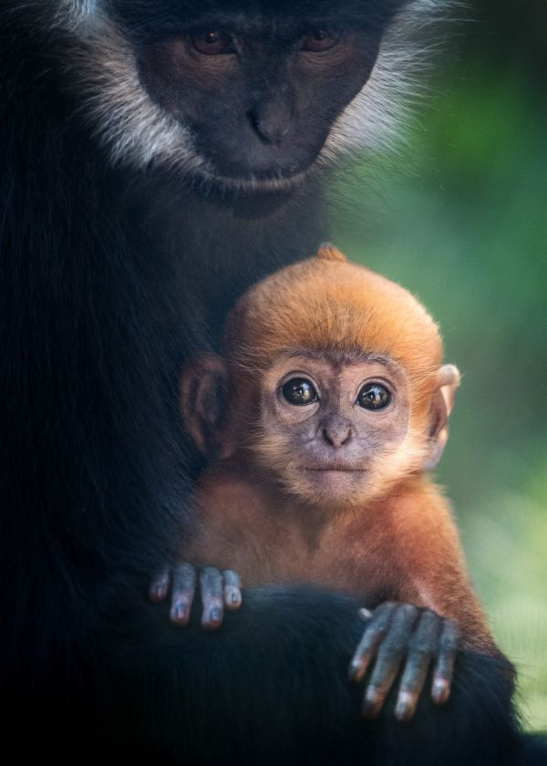 Two François' Langur babies - which are born with bright orange fur - are new at Los Angeles Zoo and Botanical Gardens. See video of the baby Monkeys on ZooBorns.com and at http://www.zooborns.com/zooborns/2017/09/langur-babies-debut-at-los-angeles-zoo.html