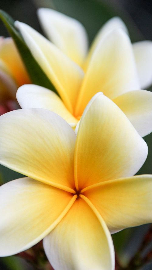 Plumeria Frangipani Flower Iphone Wallpaper Silver Spiral Studio In 2018 Pinterest Iphone Wallpaper Wallpaper And Flower Iphone Wallpaper