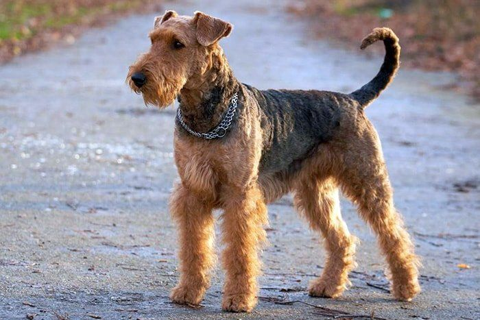 Pin By Chrissie Skees On Dogs I Love Airedale Dogs Terrier Dog Breeds Dog Shedding