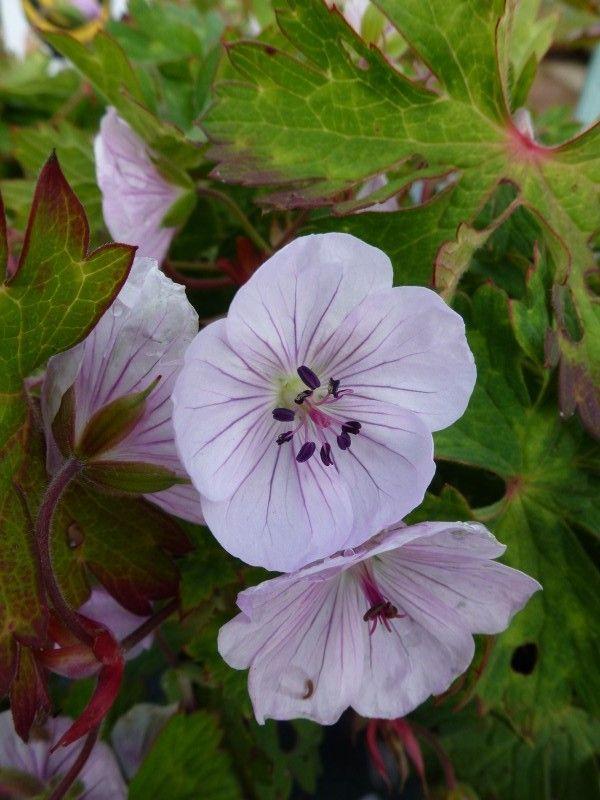 Geranium Lilac Ice                                                                                                                                                                                 More