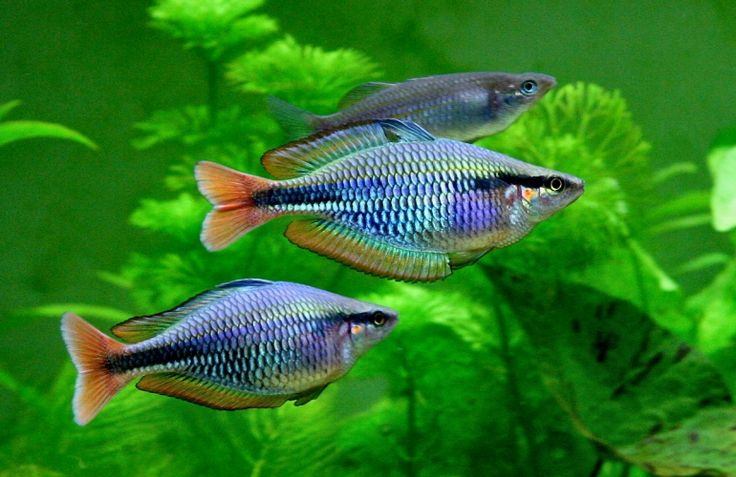 17 best images about rainbow fish goby fish on pinterest for Tropical rainbow fish