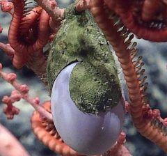 現在深海を絶賛調査中のアメリカ海洋大気庁(NOAAの調査船オケアノスエクスプローラーOkeanos Explorer  北太平洋にあるベーカー島の水深1840メートル地点で奇妙な物体を発見したそう  緑色の袋状のものにニワトリの卵のような薄紫色の物体がぶら下がっているように見えます  この謎の物体に対しNOAAはツイッター上でこれ何かわかると質問をなげかけています  NOAAのSNSからの質問にアマチュア海洋学者や海の生き物に詳しい人からセファロポッド頭足類タコの卵サメの卵ウミウシの卵ホヤシーチューリップの一種などの回答があったそう  本日動画がツイッター上に公開されこの物体の正体について話しているよう  ちなみにNOAAの探査船オケアノスエクスプローラーはフェニックス諸島やベイカー島の未知なる海域を3週間にわたって探検中だそう  そのライブ映像は3月29日までYOUTUBEにて公開されています https://m.youtube.com/watch?v=Ny7ktdZBZ7c  宇宙と同じくらい未知の深海の不思議にもしかしたら出会えるかもしれません