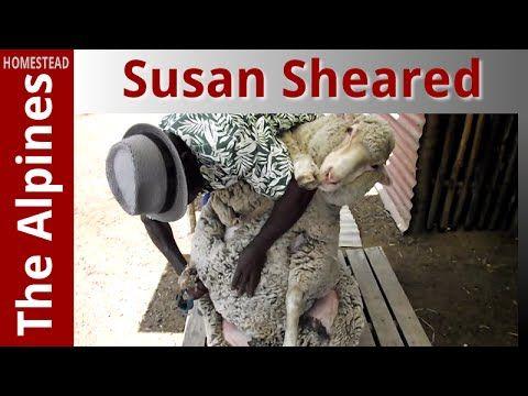 My Sheep Susan - under the blades - Shearing