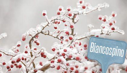 Significato dei fiori: biancospino, bacche rosse natalizie piene di speranza! | Giardinieri in affitto