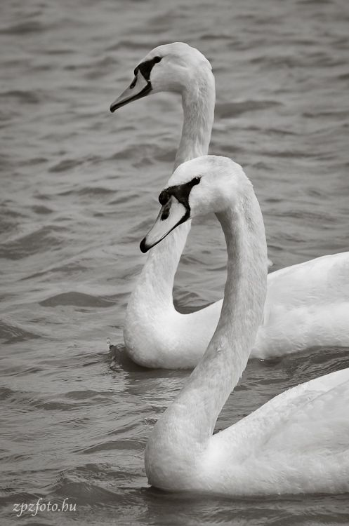 Swans on Lake Balaton