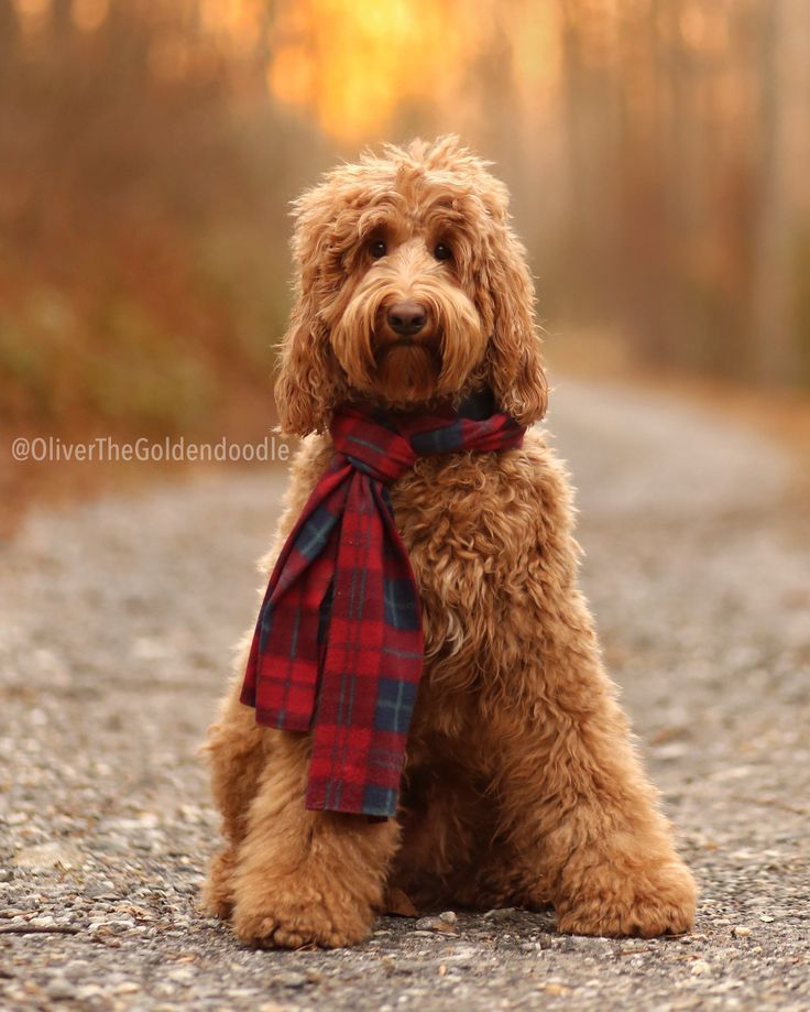 Oliver, Medium F1b Goldendoodle, Instagram: @OliverTheGoldendoodle