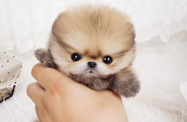 35 Of The World S Smallest Dog Breeds That Are Bound To Steal Your