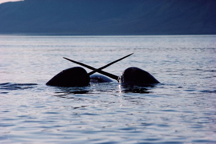 Researchers tracked narwhals and found that they reconstruct their underwater world with more resolution that most other animals on the planet.