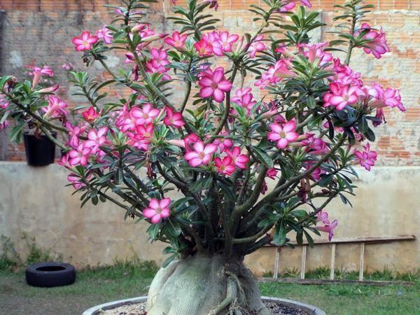 Como cuidar de rosas-do-deserto. A Rosa do deserto é um tipo de lírio, e por isso também pode ser conhecida como lírio impala ou Adenium, herbácea nativa da África possui características de plantas adaptadas a climas semi-áridos, ou ...