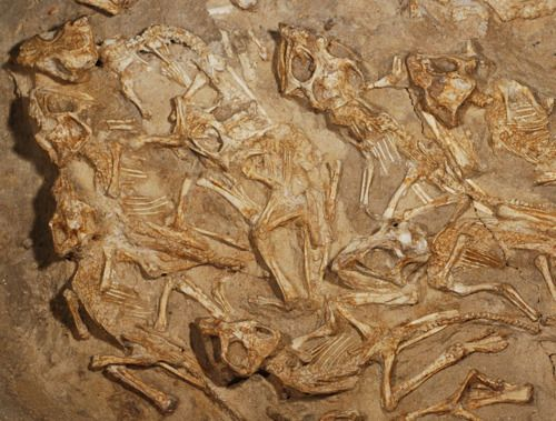 """""""Nest Full of Baby Dinosaurs Found. A 70-million-year-old nest filled with the remains of baby Protoceratops gives clues to the dinos' early behavior."""""""
