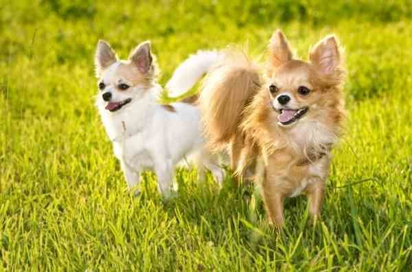 I Got 2 Chihuahua S At Home And There Both Brown And White One Is