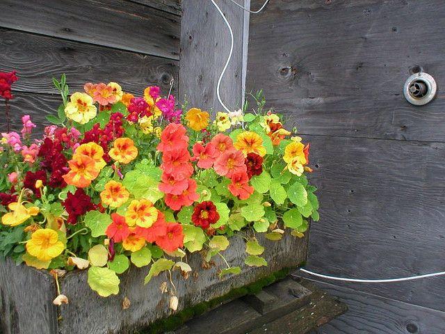 103 best Nasturtiums images on Pinterest Flowers Flowers garden