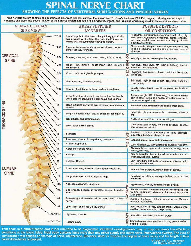 vertebral column and nerves | Spinal nerve chart