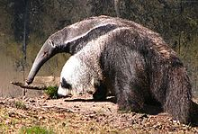 "Giant anteater (Xenarthra).  Exafroplacentalia or Notolegia is a clade of placental mammals proposed in 2001 on the basis of molecular research. Exafroplacentalia places Xenarthra as a sister group to the Boreoeutheria (comprising Laurasiatheria and Euarchontoglires),thus making Afrotheria a primitive group of placental mammals (the group name roughly means ""those which are not African placentals""). Updated analysis of transposable element insertions around the time of divergence strongly…"