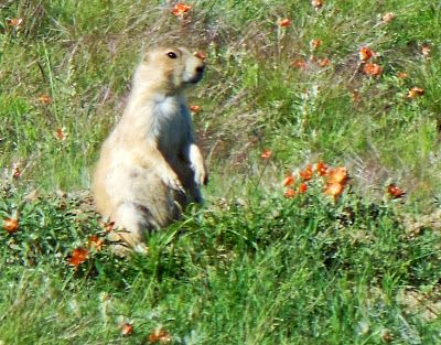 Prairie Dog at Devils Tower Wyoming