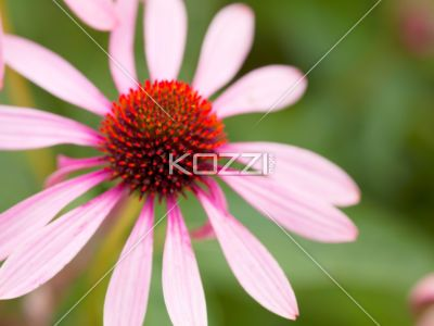 close-up shot of pink flower. - Detailed shot of pink flower and pollen.
