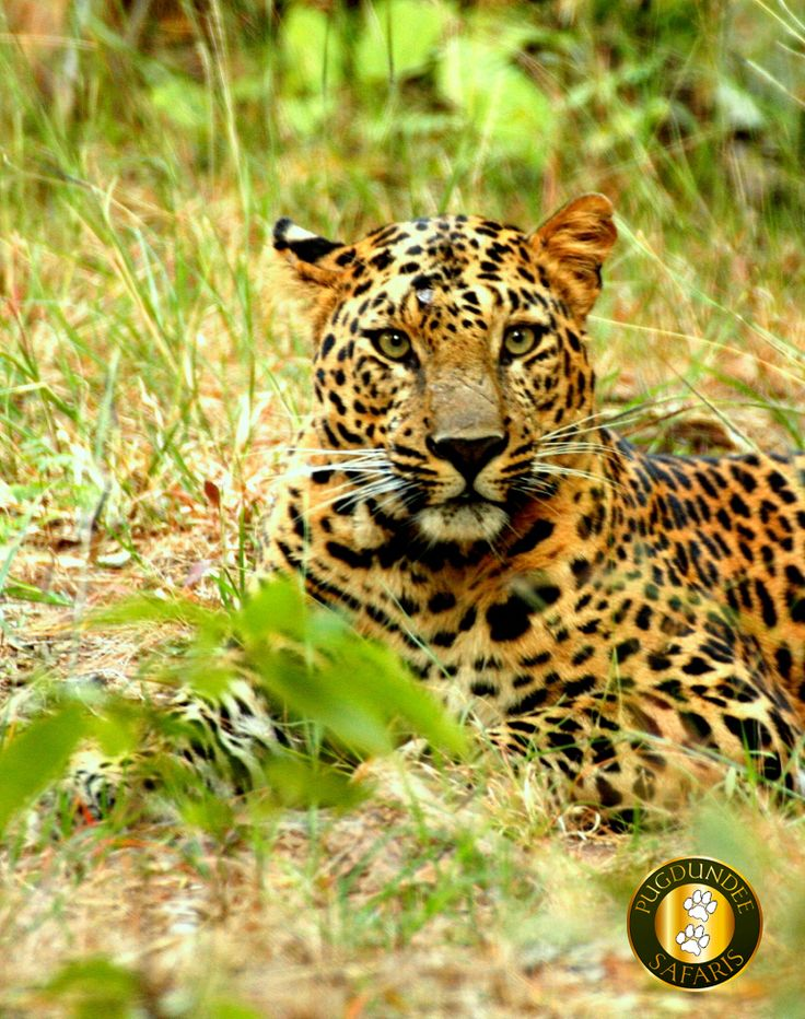 Recent sighting at #Bandhavgarh.  Picture by Naresh Singh(Gudda) Naturalist at Kings Lodge(www.kingslodge.in)