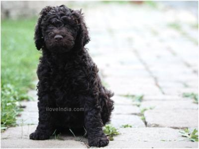 Barbet: Animal 3, Dogs Breeds, Water Dogs, Dogs Lovers, Awww Animal, French Water, French Words, Barbet Doggies, Barbet Dogs