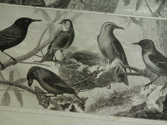 BIRDS old print of birds  original 1849 by DecorativePrints