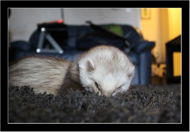 Apollo nuzzling the carpet!