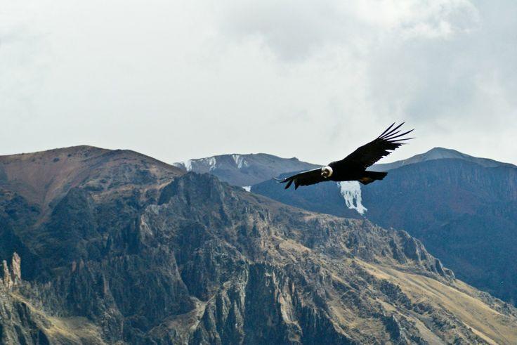 Condor - Colca