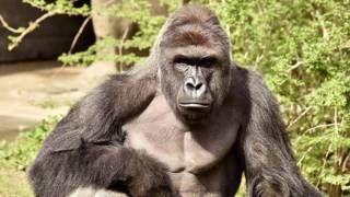 Image copyright                  Reuters                  Image caption                     El gorila, que fue muerto por los cuidadores, tenía 17 años.    La policía investigará las circunstancias que rodean la muerte de un gorila en el zoológico de Cincinnati, en Estados Unidos. Los responsables del parque le dispararon después de que un niño de cuatro años cayera en su recinto. El fiscal del condado de Hamilton, Joseph Deters, dijo que una vez qu
