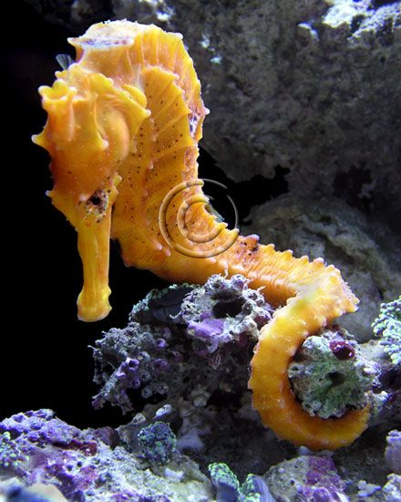 seahorse8.jpg (440×550)
